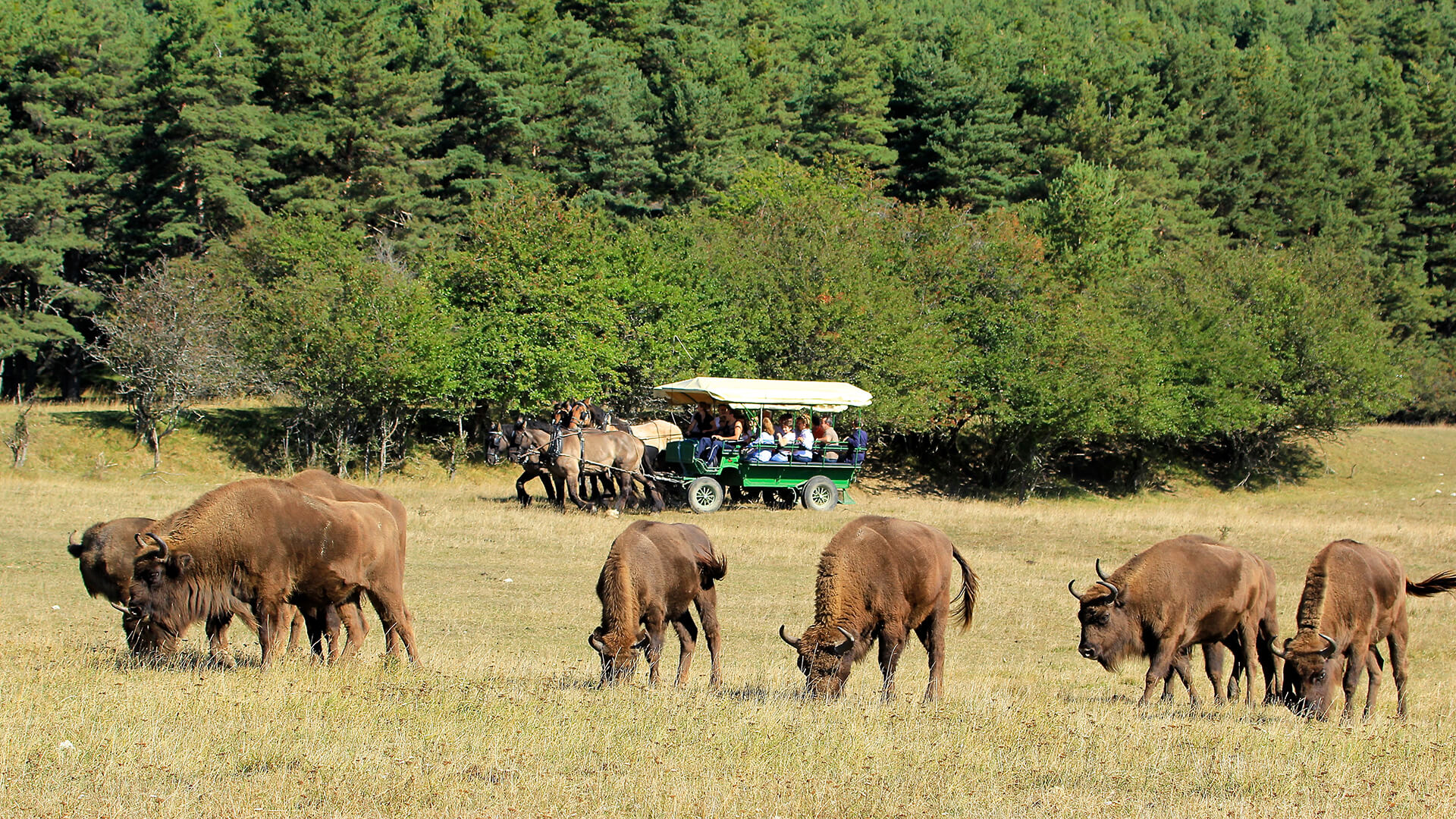 Guided safari in a horse-drawn carriage